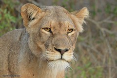 DSC_3508 (Arno Meintjes Wildlife) Tags: africa nature southafrica wildlife lion safari bigcat predator krugerpark kruger big5 pantheraleo arnomeintjes