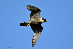 Female Peregrine Falcon. (spw6156 - Over 5,124,370 Views) Tags: copyright female steve  iso falcon cropped th waterhouse peregrine peregrinefalcon 64018 httpwwwplymperegrinescouk plymperegrines stevewaterhouseperegrinefalcon stevewaterhouseplymperegrines