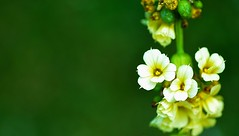 Sisyrinchium striatum (pallab seth) Tags: park summer white plant flower macro london yellow spring nikon bokeh small petal flowering sisyrinchium sisyrinchiumstriatum d7000 paleyelloweyedgrass blinkagain bestofblinkwinners tamronspaf80mmf28
