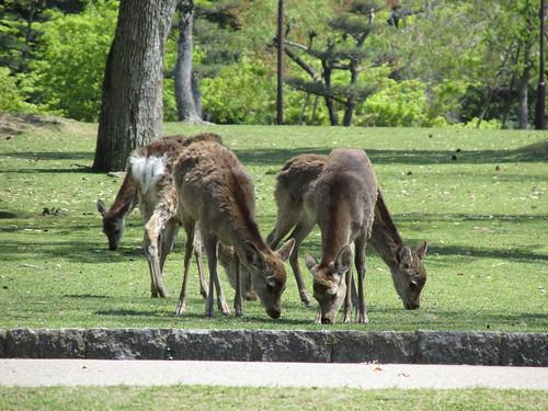 Cerfs, Nara, Japon