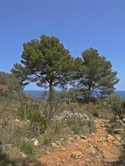 Dos Arbres (Bricheno) Tags: trees espaa spain espanha mediterranean espana mallorca spanien spagna spanje majorca baleares soller portdesoller  espanya  balearics hiszpania sller portdesller   bricheno