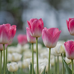 "Tulips • <a style=""font-size:0.8em;"" href=""http://www.flickr.com/photos/28211982@N07/14059665533/"" target=""_blank"">View on Flickr</a>"