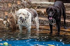 Labrador And A Terrier Dog Playing In A Pool (kalypsoworldphotography) Tags: two dog pet white motion black game water pool rascal animal tongue swim ball fur fun mammal happy athletic funny energy labrador play action outdoor small joy canine retriever tennis terrier domestic fox friendly catch lovely breed collar companion refreshing active pedigree intelligent ability wiry purebred obedient
