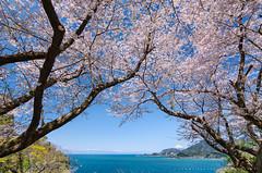 Mt Fuji, Blue Sea, under the Cherry Tree [Explore] (-TommyTsutsui- [nextBlessing]) Tags: pink blue light sea 2 sky flower tree nature japan cherry landscape coast spring nikon fuji blossom scenic explore shore  sakura    izu mtfuji  someiyoshino   matsuzaki  sigma1020  onsalegettyimages