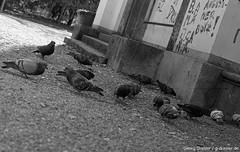 Street Pigeons (ge-org) Tags: street city munich mnchen blackwhite pigeons tmax400 400tmy ilfordilfoteclc29 canonftbql