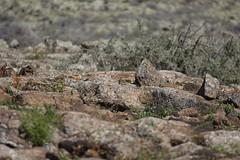 Malpas (rvr) Tags: stones fuerteventura piedras laoliva malpasdelaarena lices7010023