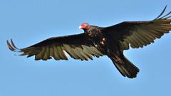 F3K_0991 (68photobug) Tags: nature nikon florida marsh vulture buzzard nikkor preserve 28300mm turkeyvulture polkcounty cbbr d7000 circlebbarreserve 68photobug bananacreekmarsh