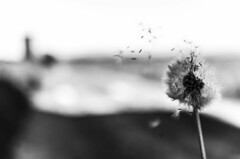 The wind blows out my thoughts (gviarizzo) Tags: bw wind quality group dreaming dandelion vision soffione dentedileone sognando visionqualitygroup