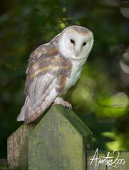 Barn Owl (TheApertureMan) Tags: posing workshop falcons thirsk avian birdsofprey predators photoevening sionhallfalconrycentre