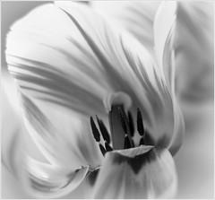 Tulpan / Tulip (herou56) Tags: bw plants flower macro nature garden blackwhite flora bokeh natur tulip blomma makro blommor tulipa trdgrd vxter gardenflowers tulpan nrbild svartvitt flowerportrait naturkonst trdgrdsblommor ilobsterit