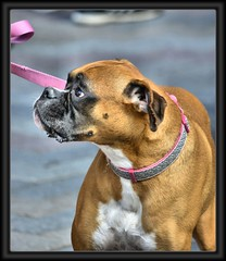 Dog on a pink leash (swong95765) Tags: usa dog look portland expression or expressive focused amstaff thelook