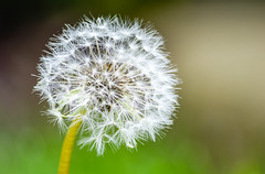 make a wish (pixSullivan) Tags: summer white flower weed blow dandelion seeds wispy floaties puffball makeawish