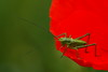 Groen op rood (nikjanssen) Tags: red green rouge groen vert rood sprinkhaan potofgold grashopper