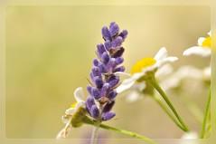 bemutterter Lavendel (nirak68) Tags: lavendel camomile mutterkraut featherfew 2014ckarinslinsede