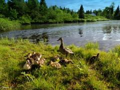 Adorable little quacks:) (Yolanta Z) Tags: stagathe
