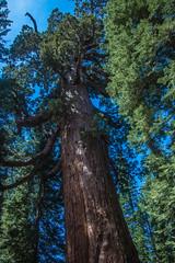 DSC_4089 (alanstudt) Tags: california forest nationalpark nikon yosemite redwood sequoia yosemitevalley giantredwood giantsequoia mariposagrove grizzlygiant d600 shotinrawformat afsnikkor28300mmf3556gedvr alanstudt adobelightroom5