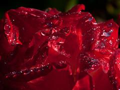 Rose after summer-rain (ustrassmann) Tags: summer rain rose garden raindrops makro blüte garten wassertropfen tropfen summerrain sommerregen roterose