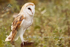 Barn Owl Inspiration (CampCrazy Photography) Tags: ontario canada bird beautiful barn c feathers jazz raptor owl serena mountsberg majestic protected talons owlbird livingstoncampcrazy photographyoutdoors preywings