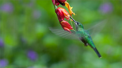 Green-crowned Brilliant in Flight (Raymond J Barlow) Tags: travel orange green costarica hummingbird wildlife workshop raymondbarlowtours