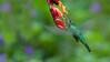 Green-crowned Brilliant in Flight (Raymond J Barlow) Tags: travel orange green costarica hummingbird wildlife workshop raymondbarlowtours