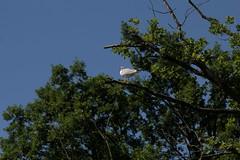 Silbermwe - Mwe ( Vogel - Bird ) auf einem Baum ob der R.euss zwischen B.uchrain und F.lachsee oberhalb B.remgarten im Kanton ... in der Schweiz (chrchr_75) Tags: chriguhurnibluemailch christoph hurni schweiz suisse switzerland svizzera suissa swiss chrchr chrchr75 chrigu chriguhurni 1406 juni 2014 hurni140621 juni2014 albummweninderschweiz mwe gull mouette gabbiano meeuw mke ms gaviota vgel vogel bird oiseau wildlife  albumzzzz140621reussbuchrainbremgarten