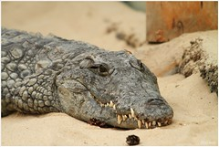 Nijlkrokodil (Crocodylus niloticus) (7D011434) (Hetwie) Tags: animals zoo dieren safaripark beeksebergen dierentuin krokodil crocodylusniloticus krokodillenverblijf