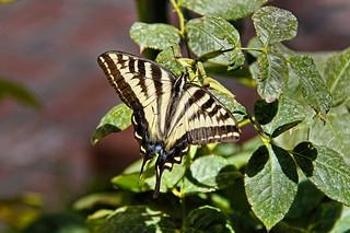 Western Tiger Swallowtail on green leaf.