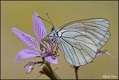 Aporia crataegi (alfvet) Tags: macro nikon ngc butterflies natura npc insetti farfalle sigma150 parcodelticino d5100