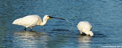 IMG_8903a (Josette Veltman) Tags: duck swan eend zwolle overijssel spoonbill zwaan lepelaar stadshagen