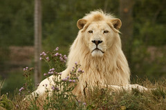 Leader Of The Pack (Jchales.co.uk) Tags: pink flowers orange male green heritage yellow cat big sitting colours bokeh wildlife main lion foundation pack leader majestic catchy laying 2014 whf canonef200mmf28lii jchales