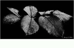 Monochrom (hans-jrgen2013) Tags: flower rose schwarzweiss blatt bildbearbeitung