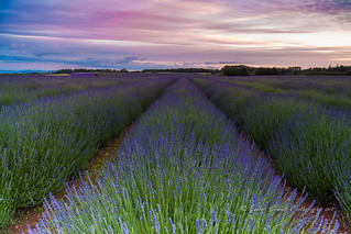 the first lavender
