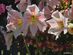 Hippeastrum flowers (pat.bluey) Tags: flowers friends light ngc australia lilies newsouthwales nights blacktown mygarden 1001 hippeastrum 1001nightsmagiccity hennysgardens sunrays5
