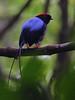 Long-tailed Manakin (Rainbirder) Tags: costa rincondelavieja linearis longtailedmanakin ricarainbirderchiroxiphia