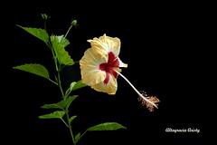 Hibisco/Hibiscus (Altagracia Aristy Sánchez) Tags: blackbackground américa dominicanrepublic hibiscus hibisco tropic caribbean antilles laromana cayena caribe repúblicadominicana fondonegro caraïbe trópico antillas quisqueya fujifilmfinepixhs10 fujihs10 fujifinepixhs10 altagrciaaristy sfononero