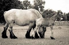 _DSC7335-2 (Ton van der Weerden) Tags: horses horse dutch de cheval belgian nederlands belges draft chevaux belgisch trait trekpaard trekpaarden miavanbaaishofmilanvanbaaishofvhugovandevinkenbossen