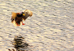_DSC0323 copy (Michael John Corcoran) Tags: nature water birds duck nikon d5200