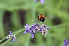 Bumblebee (Hana's Photography) Tags: summer holiday flower nature beautiful insect flying lavender bee bumblebee