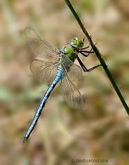 Male Emperor Dragonfly (Crazybittern1) Tags: dragonflies insects emperordragonfly heyshamnaturereserve sigma70300mmmacro lancashirewildlifetrust nikond7000