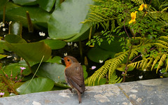 Robin Redbreast (CA Phoenix) Tags: camera bird nature robin wings nikon cornwall flight beak robinredbreast lostgardensofheligan d5200