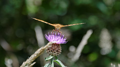 Petit nacr (Pylou_astro) Tags: butterfly nikon papillon parc petit pilat nacr d7100