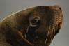 Hooker's sea lion (Phocarctos hookeri), Enderby Island, New Zealand (by N. Murray)