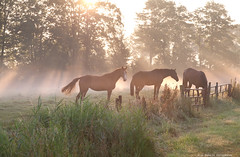 horses in misty sunbeams (Olha Rohulya) Tags: morning summer horse orange sun sunlight mist holland green nature netherlands dutch field sunshine yellow misty fog rural sunrise landscape outside outdoors gold countryside early scenery quiet view scenic meadow nopeople calm farmland beam few pony pasture pastoral sunbeam tranquil graze