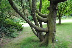 Queen Mother tree in Trengwainton Garden (zawtowers) Tags: summer holiday tree sunshine garden warm cornwall break branches mother meadow july property queen national trust monday trengwainton laid uneven kernow 2014 madron