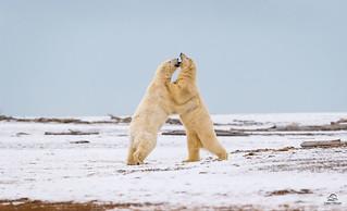 Polar Bear Battle *in explore*