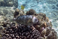 stareye parrotfish: Calotomus carolinus (kris.bruland) Tags: stareyeparrotfishcalotomuscarolinus scaridae calotomuscarolinus kahaluubeachpark stareyeparrotfish carolinesparrotfish starryeyeparrotfish parrotfish christmasparrotfish bucktoothparrotfish uhu kailuakona kona northkona keahou westhawaii hawaiicounty bigisland coral hawaii hawaiian creature reef pacific ocean scuba sea snorkel underwater snorkeling tropical dive diver diving ecology ecosystem environment environmental fish krisbruland ichthyology ichthyologist island islands marine nature organism outdoor saltwater science undersea vertebrate water zoology life sandwich animal aquatic biology