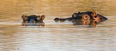 HIPOPOTAMO, hippopotamus (Hippopotamus amphibius). (Sergio Bitran M) Tags: 2014 sudafrica hipopotamo hippopotamus hippopotamusamphibius parquekruger mamifero mammalia southafrica
