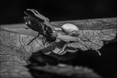 DR150805_123D (dmitry_ryzhkov) Tags: blackandwhite bw monochrome black white bnw blacknwhite blackwhite hunter hunting arthropoda fly flies diptera spider araneaeflower flowers flora grass plant plants botany leaf leaves summer forest field sun sunlight russia moscow art europe light lights shadow shadows live photo photography shot sony alpha wild wildlife life moment shots nature naturephoto naturephotography natureshot photograph close closeup closeupshot macro macrophoto macrophotos macrophotography macroshot small micro little entomology entomologist biologist biology zoology fauna enviropment outdoor outdoors bug