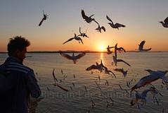 Mawlamyine (Moulmein) (Bertrand de Camaret) Tags: asie asia mawlamyine moulmein myanmar burma birmanie oiseau bird mer eau water man sunset coucherdesoleil bertranddecamaret ngc nationalgeographic homme horizontal norriture