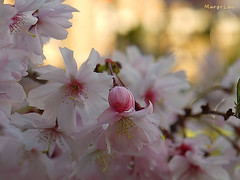 Spring Season Again ...:) (MargoLuc) Tags: spring time cherry blossoms flowers lovely pink white petals golden bokeh softness branch tree park milan italy new season macro